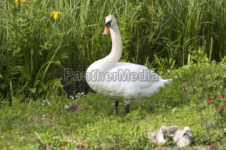 my dear swan