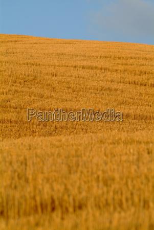 wheat, field, on, hill - 337973
