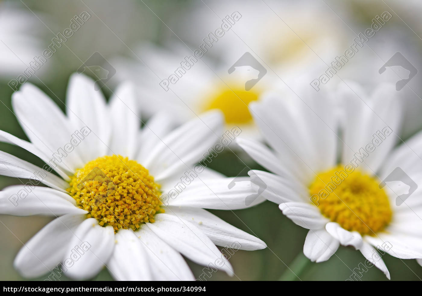 white, daisies - 340994