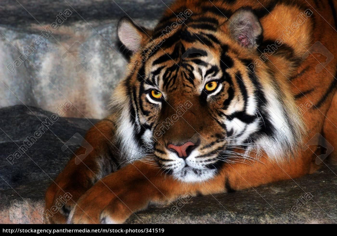 beautiful, sumatran, tiger, lady - 341519