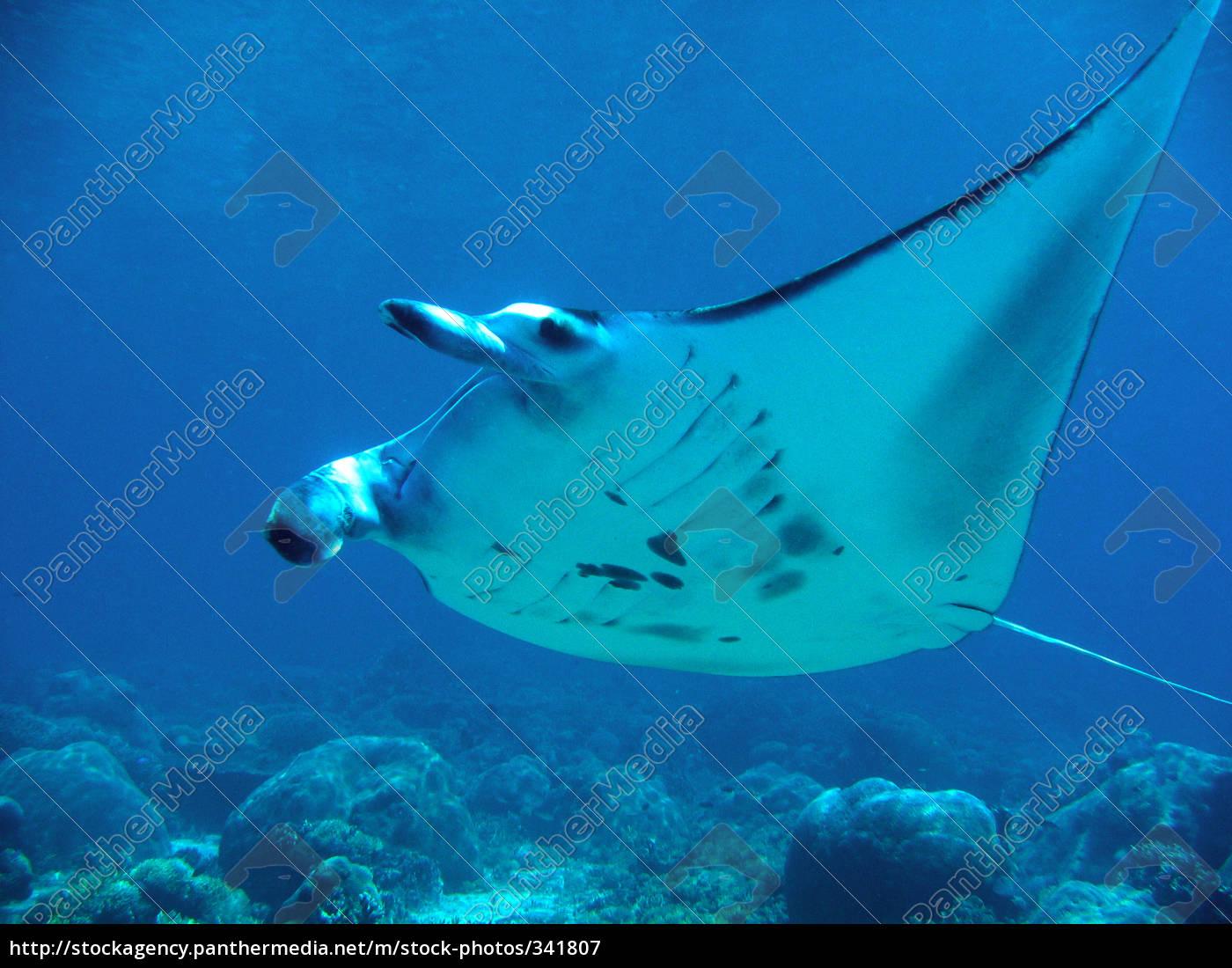manta, -, fly - 341807