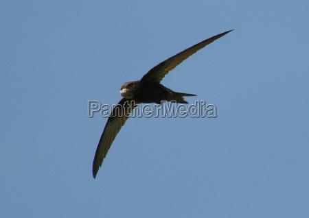 swift wildlife