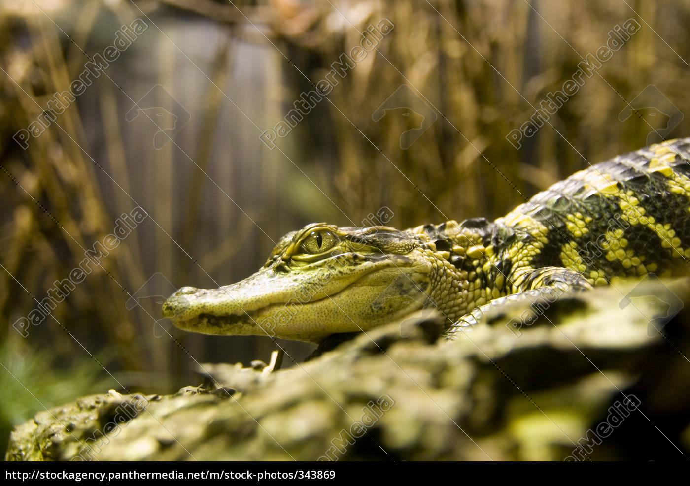 crocodile - 343869