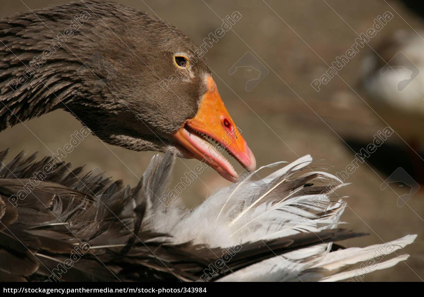 greylag, goose - 343984