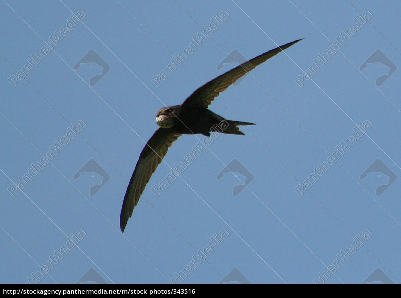 swift-wildlife - 343516