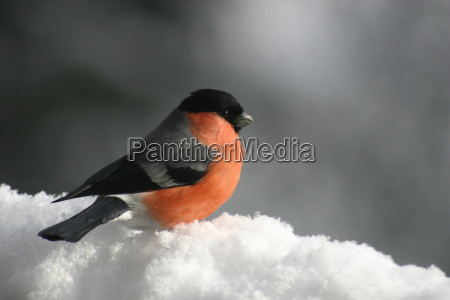 bullfinch, in, snow - 347143