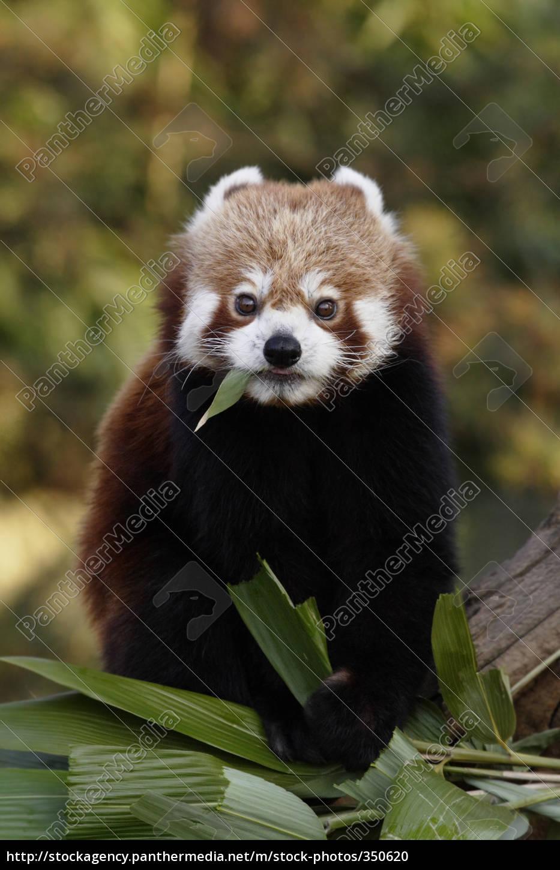 red, panda - 350620
