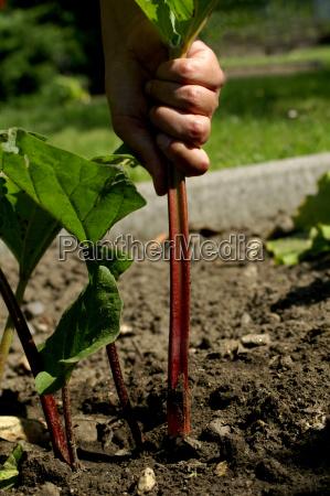 rhubarb, harvest - 350574