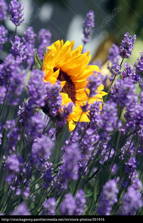 sunflower - 351916