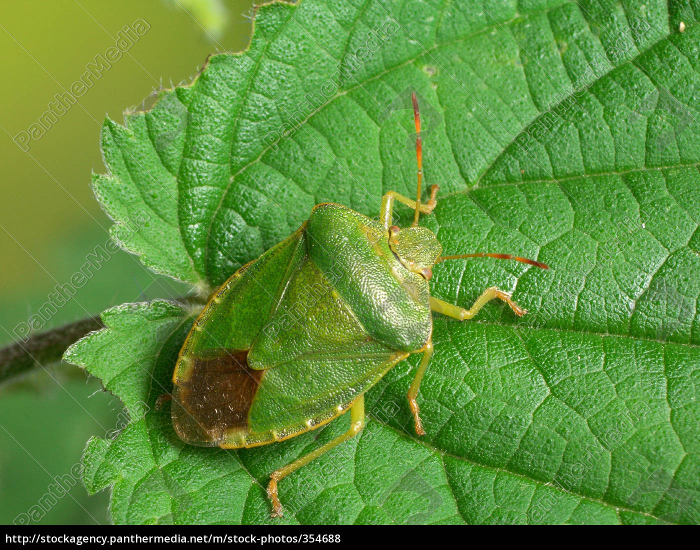 green, shield, bug, (2) - 354688
