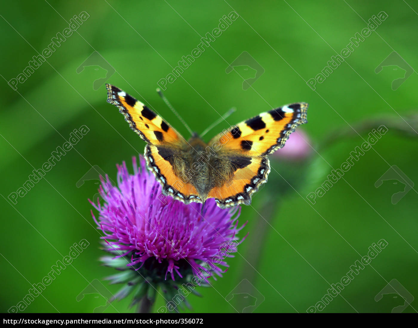 haired, butterfly - 356072