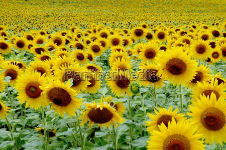 sunflower, 1 - 359213