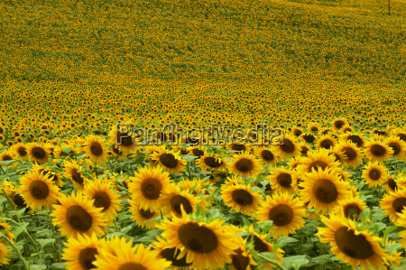 sunflowers, 3 - 359233