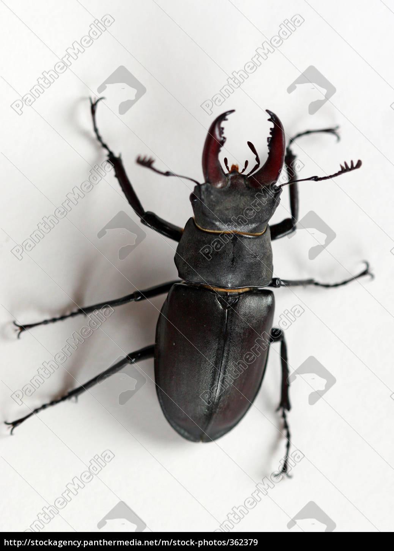 stag, beetle - 362379