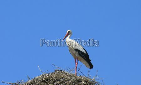 azul caucasiano bico cegonha ninho plumagem