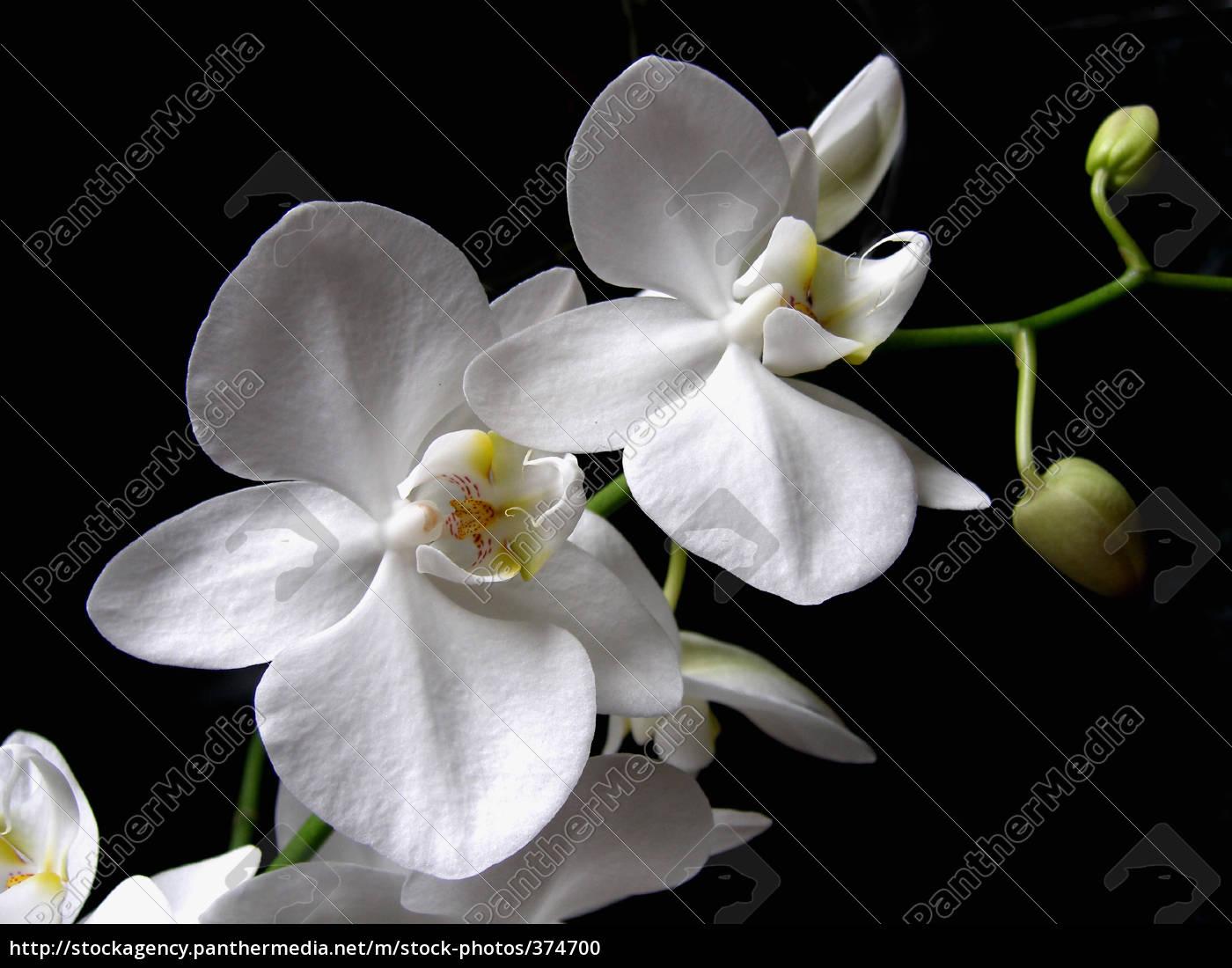 the, white, drchidee - 374700