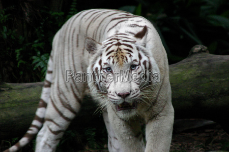 white, tiger - 378289