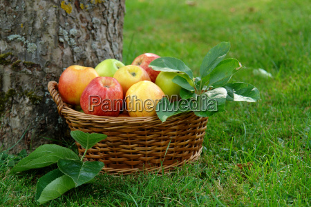 apples, in, wicker, basket - 379709