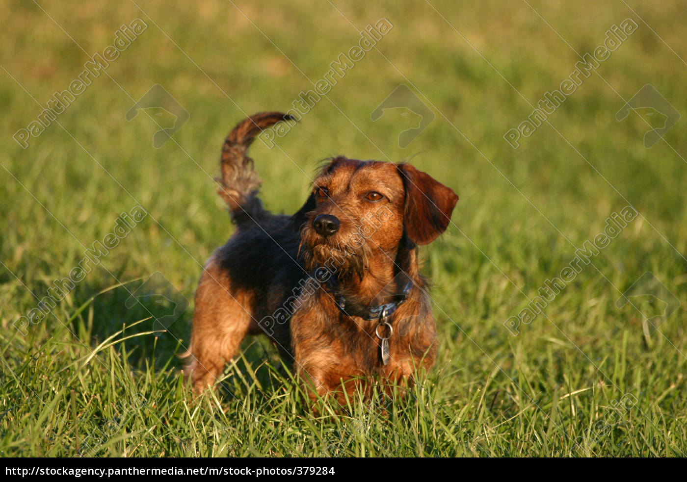 dachshund, dog - 379284