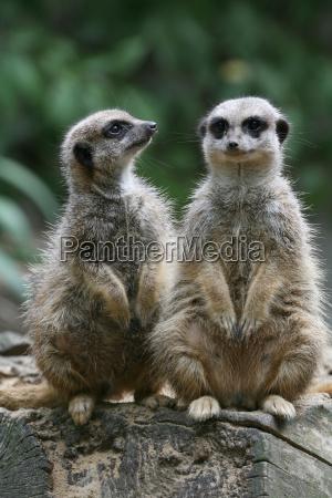 meerkats - 380096