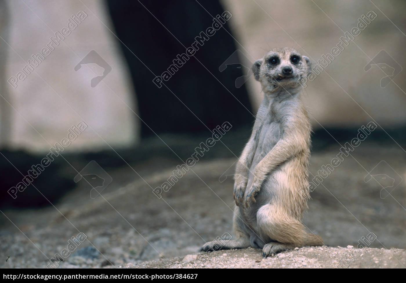 meerkats - 384627
