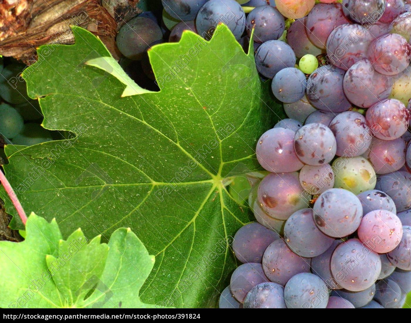 grapes - 391824
