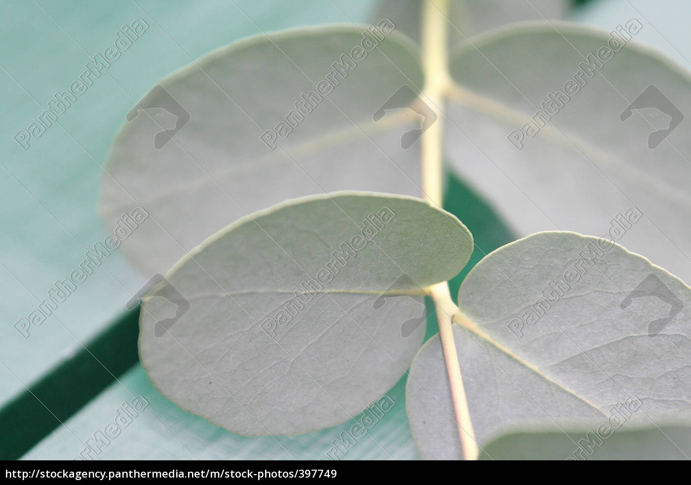 eucalyptus, 11 - 397749