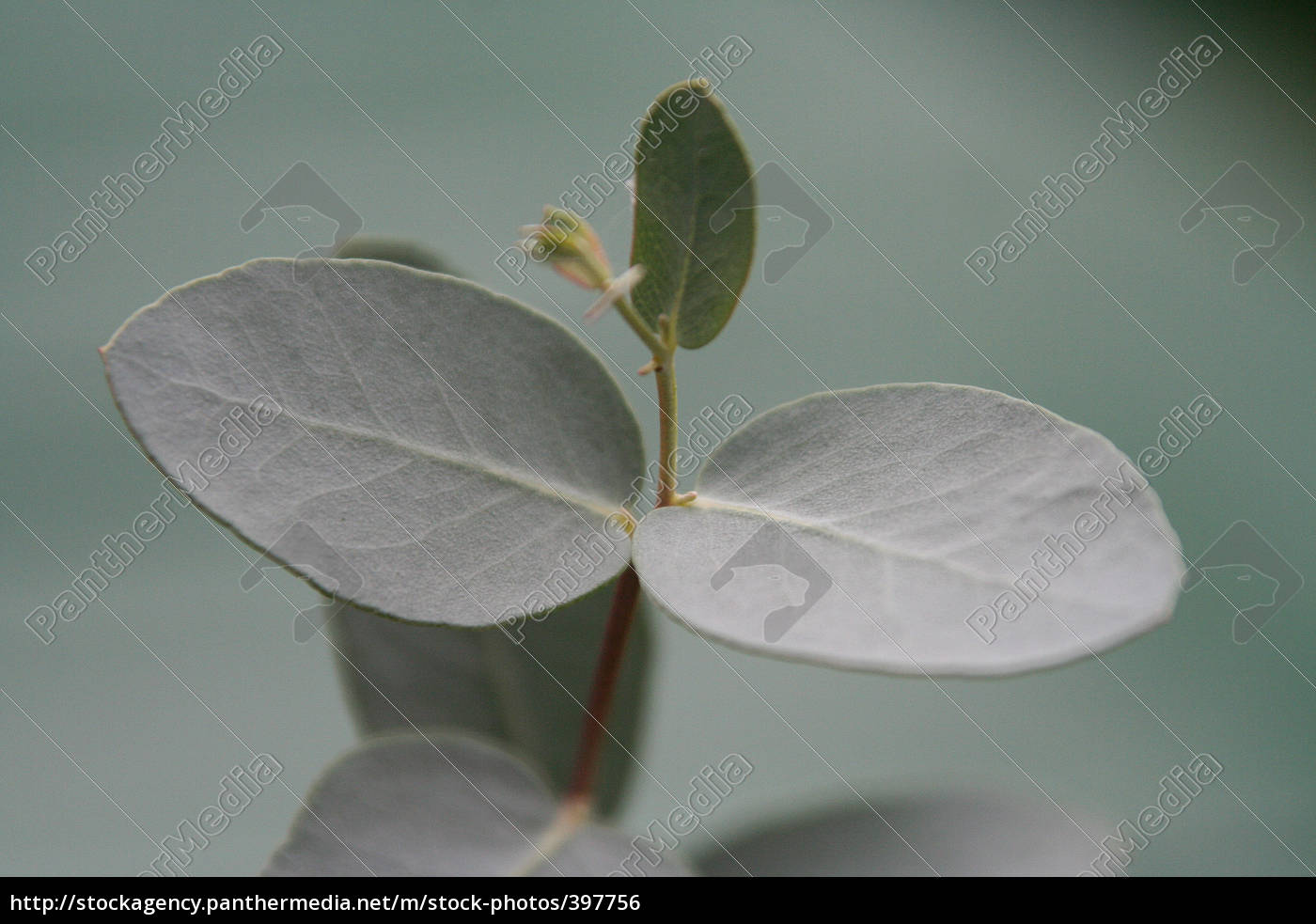 eucalyptus, 16 - 397756