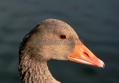 greylag wildlife