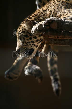 jaguar - 402993
