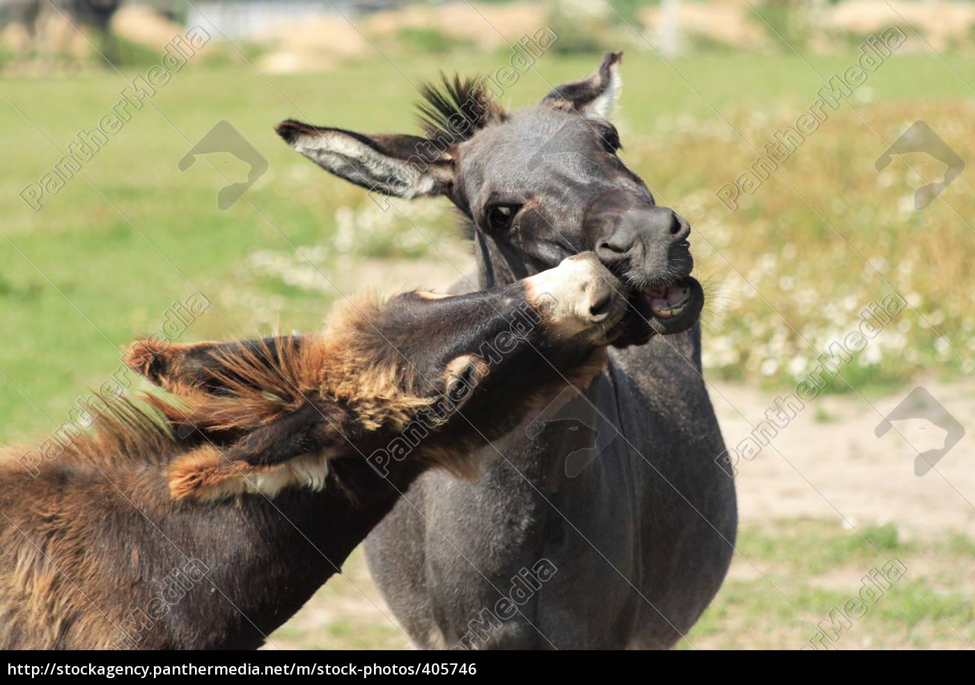 tenderness, among, donkeys - 405746
