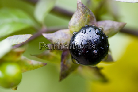 atropa, belladonna, 1 - 408181
