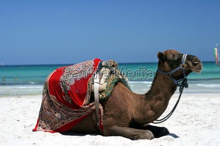 camel - 409375