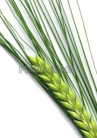 barley - 414497