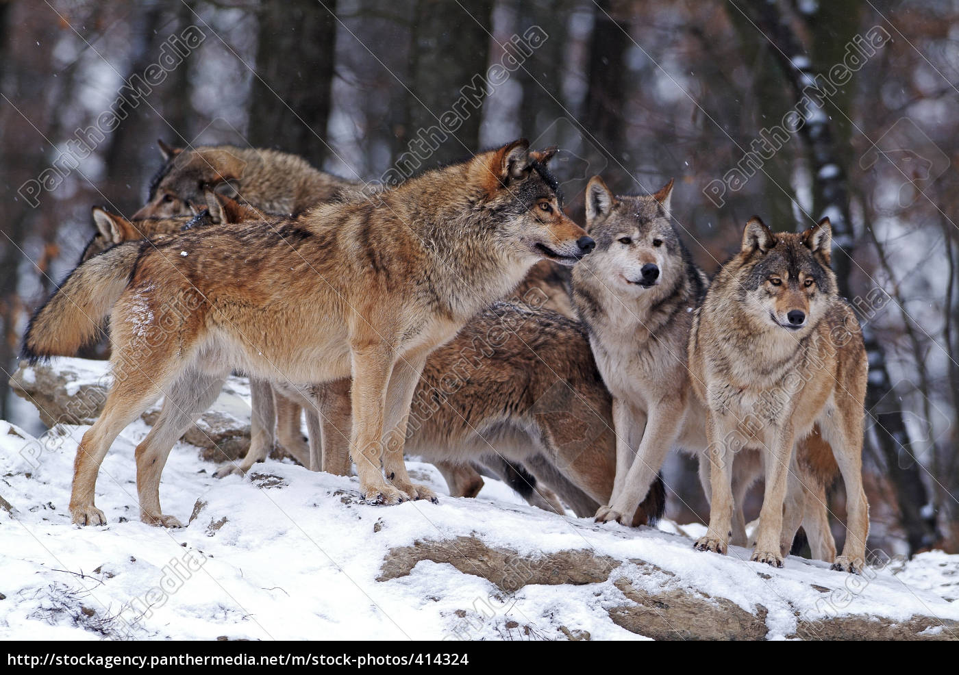 wolf, pack - 414324