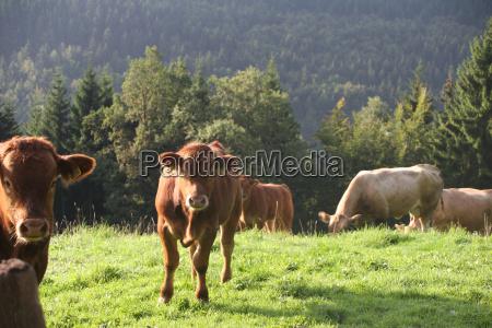 sauerland cows