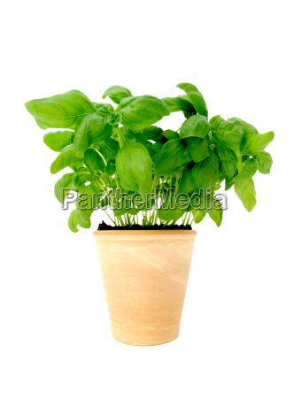 basil, in, pot - 415917