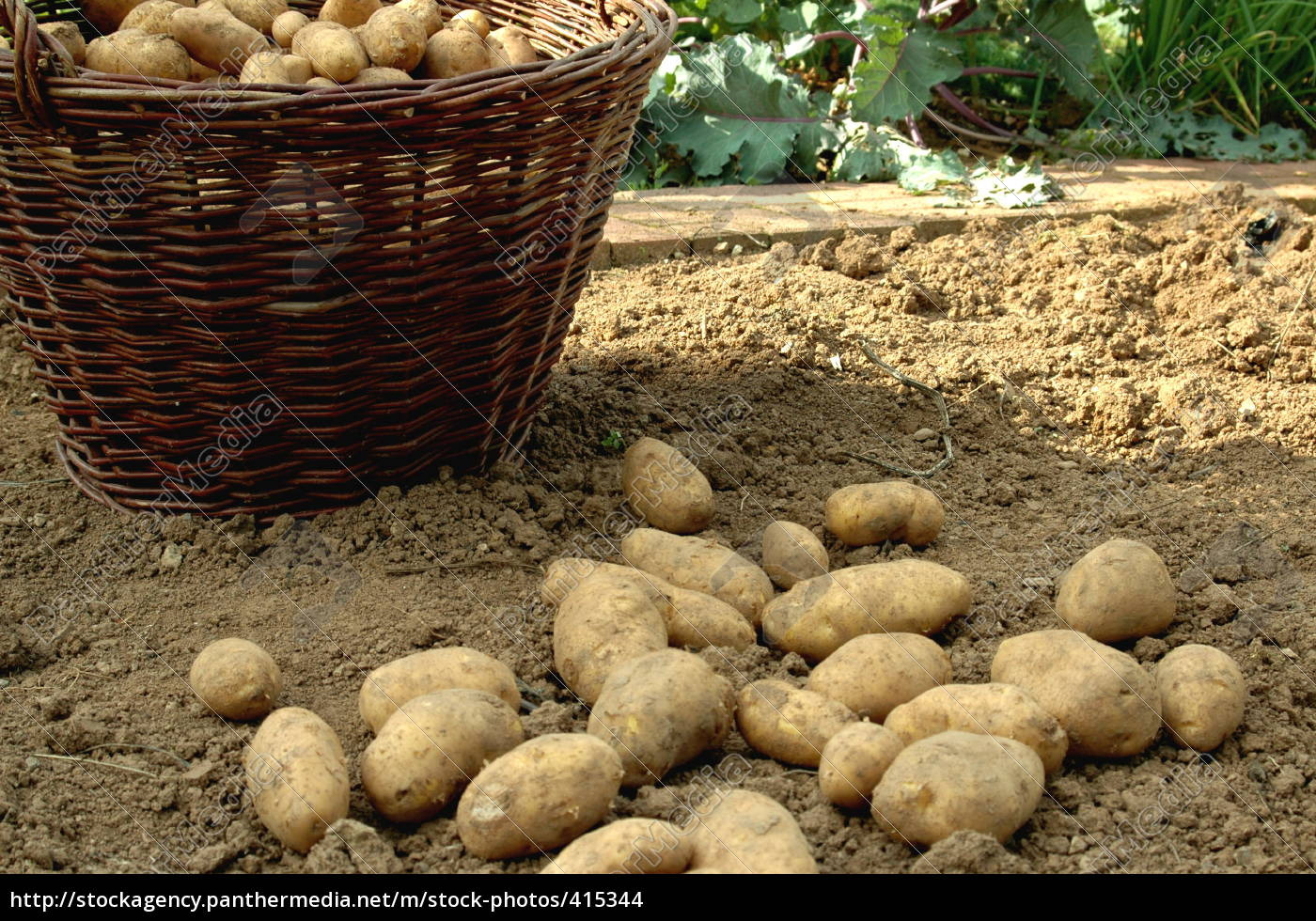 potato, harvest - 415344