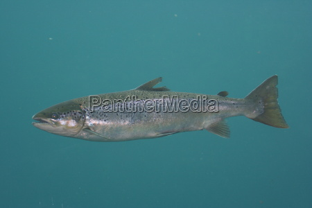 salmon - 416173