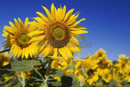 sunflower, field - 417561