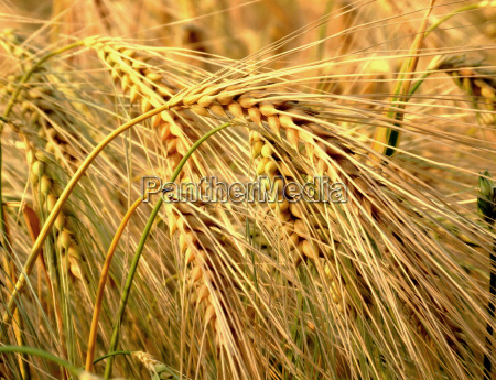 full, grain - 420980