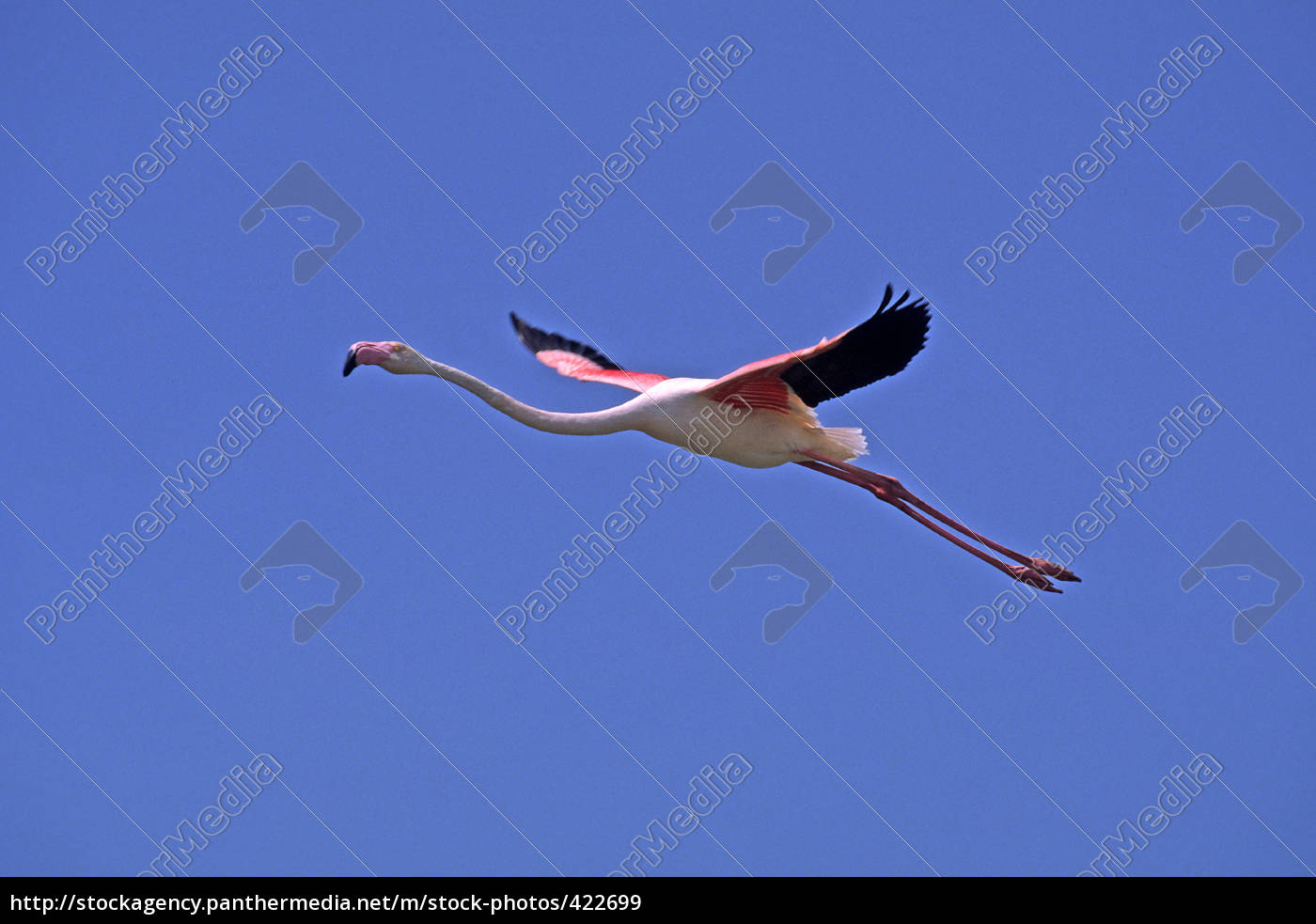 flamingo, in, flight, phoenicopterus, ruber, camargue - 422699