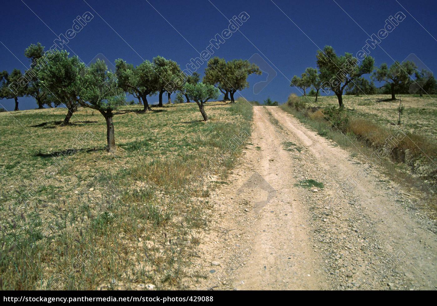 olive, trees, in, kokoni, greece - 429088