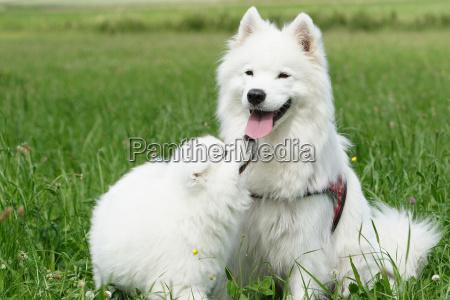 samojedenhündin, with, puppy - 431376