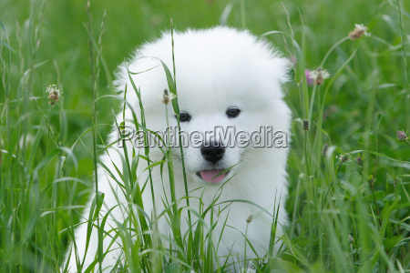 young, samojedenwelpe, in, grass - 431342