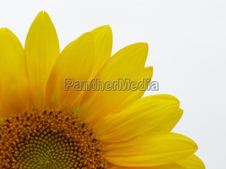 sunflower - 434262