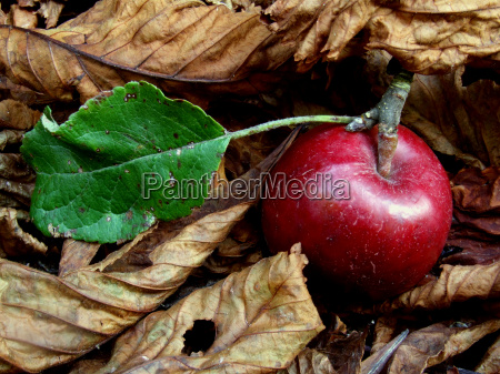 autumn apple in the foliage