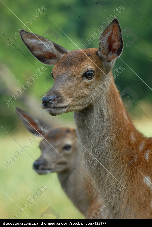 red, deer, calves - 435977