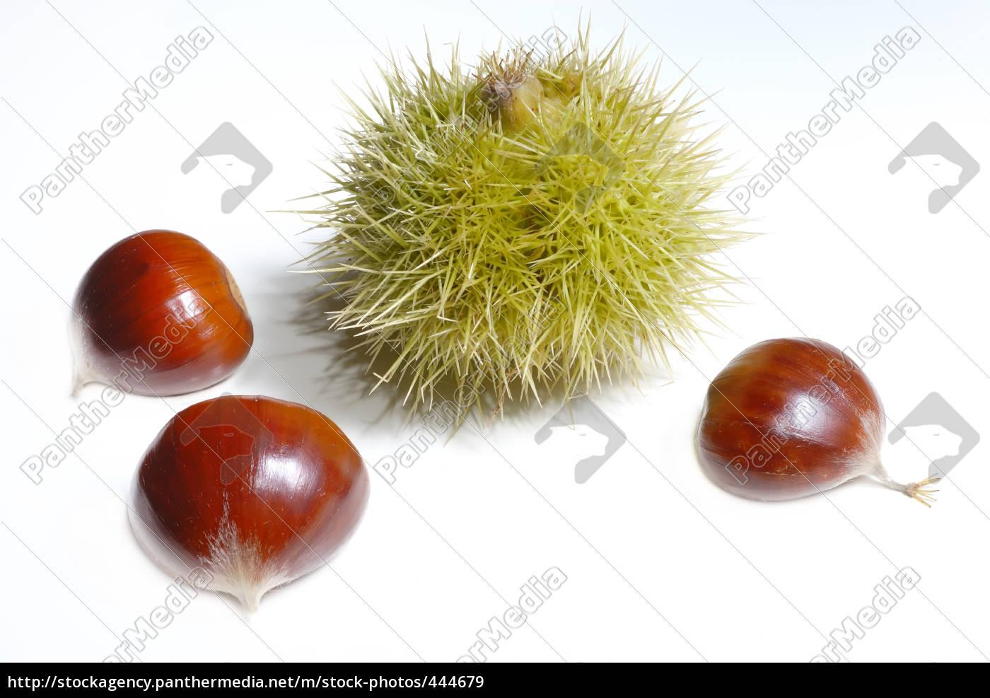 chestnut, 08 - 444679