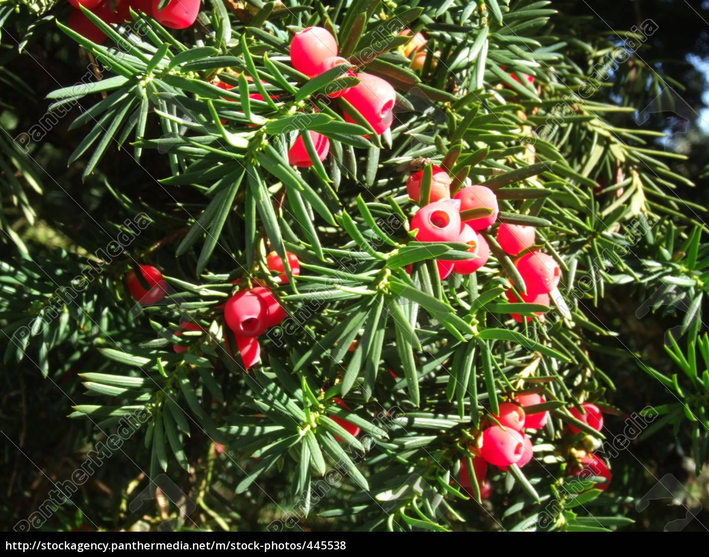 fruit, of, yew - 445538